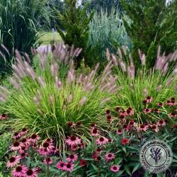 Pennisetum National Arboretum