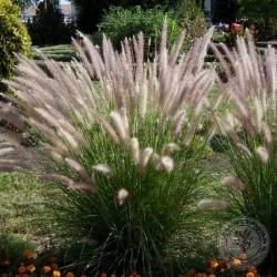 Pennisetum alopecuriodes compressum