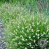 Rozplenica Japońska Pennisetum alopecuroides Little Bunny