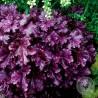 Żurawka - Heuchera Rex Purple