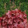 Żurawka - Heuchera Northern Exposure Red