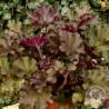 Żurawka - Heuchera Rex Red