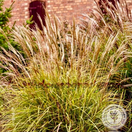 Miscanthus Sinensis Cute One