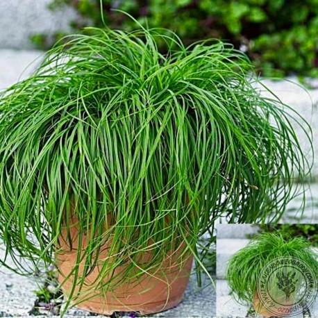 Carex The Beatles