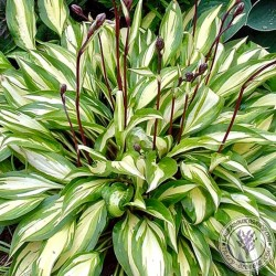 Funkia Hosta Cherry Berry