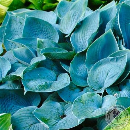 Funkia Hosta Fragrant Blue