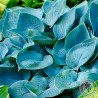 Funkia Hosta Fragrant Blue