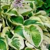 Funkia Hosta Wide Brim