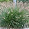 Pennisetum alopecuroides  Lady U