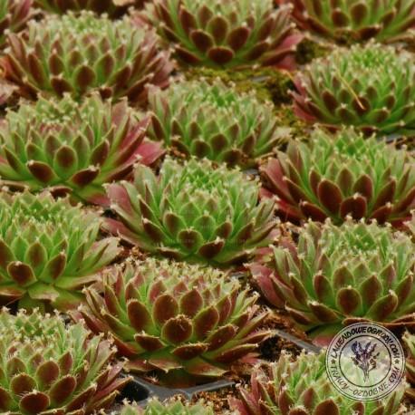 Rojnik - Sempervivum Red Type Cassiopea
