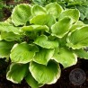 Funkia Hosta Winter Snow