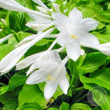 Funkia Hosta Grandiflora