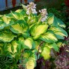 Funkia Hosta Great Expectations