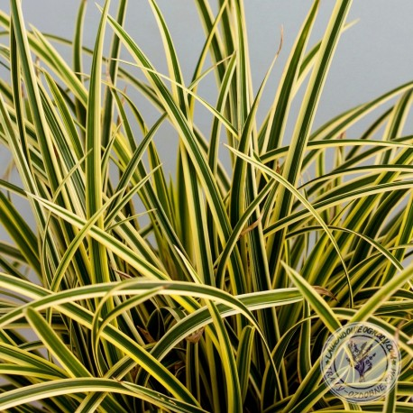 Carex morrow Vanilla Ice