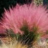 Muhlenbergia capillaris - Przyostnia włosowata