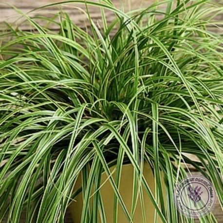 Turzyca carex oschimensis Maxigold