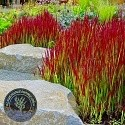 Średnio-wysokie trawy ozdobne